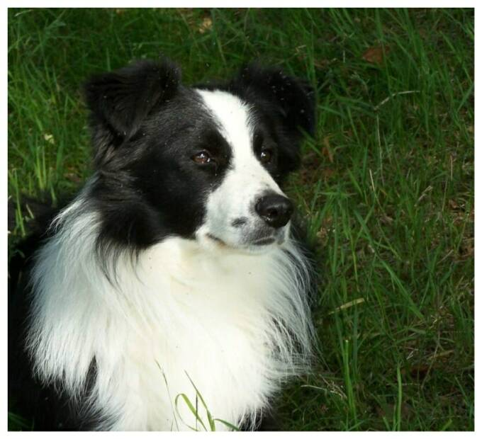 Border Collie Puppies Border Collies For Sale Scotland Uk